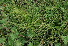 Carex-supina-habitus.jpg