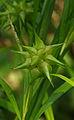Carex grayi ÖBG 2012-07-08 (02).jpg