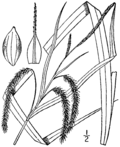 Carex gynandra drawing 1.png