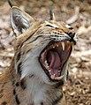 Carpathian Lynx 9 (35986165155).jpg