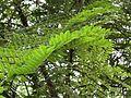 Cassia favanica (Pink shower) leaves in RDA, Bogra 01.jpg