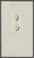 Cassidulus spec. - - Print - Iconographia Zoologica - Special Collections University of Amsterdam - UBAINV0274 106 02 0026.tif