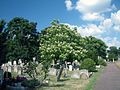 Catalpa bignonioides (2943625643).jpg