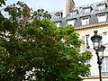 Catalpa bignonioides dans la rue Vaugirard à Paris.jpg