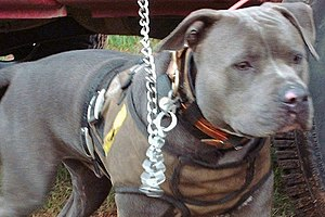 "A pitbull ""catch dog,"" wearing a kev..."
