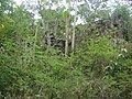 Catherineberg Sugar Mill Ruins, overgrown, unrestored area; Saint John, United States Virgin Island.jpg