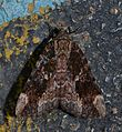 Catocala innubens – Betrothed Underwing Moth (14828249451).jpg