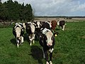 Cattle, Warren Farm - geograph.org.uk - 265619.jpg