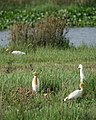 Cattle Egrets (32256529996).jpg