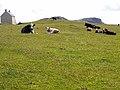 Cattle at Sandaig - geograph.org.uk - 1458661.jpg