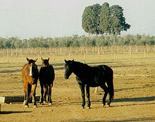 Cavalli maremmani allo stato brado
