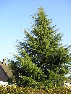 देवदार का एक नया वृक्ष