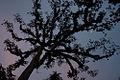 Ceiba, the Maya Tree of Life (3267618518).jpg