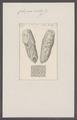 Cellepora nobilis - - Print - Iconographia Zoologica - Special Collections University of Amsterdam - UBAINV0274 093 05 0009.tif