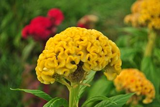 Celosia argentea - Image: Celosia