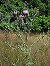 Centaurea stoebe habitus.jpeg