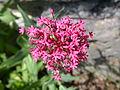 Centranthus ruber flowers.JPG