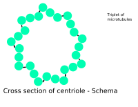 Cross-section of a centriole showing its microtubule triplets