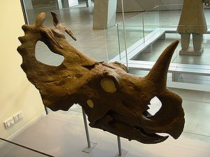 Ceratopsia - Centrosaurus, with large nasal horn, exaggerated epoccipitals, and bony processes over the front of the frill. Museum of Victoria.