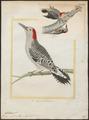 Centurus carolinus - 1700-1880 - Print - Iconographia Zoologica - Special Collections University of Amsterdam - UBA01 IZ18700355.tif