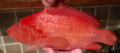 Cephalopholis sonnerait (Cephalopholis sonnerait).png