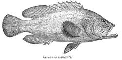 Cephalopholis sonnerati Day.png