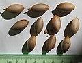 Cephalotaxus fortunei seeds, by Omar Hoftun.jpg