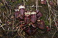 Cephalotus follicularis Hennern 3.jpg