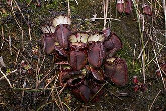 Cephalotus - Image: Cephalotus follicularis Hennern 3