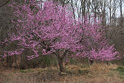Cercis canadensis redbud tree bloom.jpg
