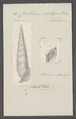 Cerithium vertagus - - Print - Iconographia Zoologica - Special Collections University of Amsterdam - UBAINV0274 083 05 0019.tif