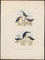 Ceyx solitaria - 1863-1876 - Print - Iconographia Zoologica - Special Collections University of Amsterdam - UBA01 IZ16800233.tif