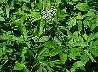 Blätter (aus bot. Garten)
