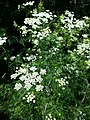 Chaerophyllum bulbosum sl23.jpg