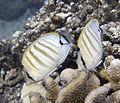 Chaetodon Multicinctus (Pebbled or Multiband Butterflyfish).jpg