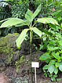 Chamaedorea ernesti-augusti - Palmengarten Frankfurt - DSC01861.JPG