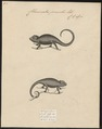 Chamaeleo pumilus - 1700-1880 - Print - Iconographia Zoologica - Special Collections University of Amsterdam - UBA01 IZ12300041.tif