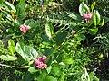 Chamaemespilus alpinus (8865973443).jpg