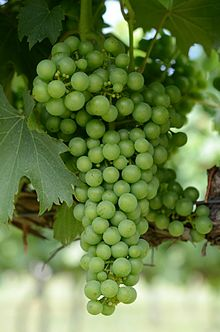 Chambourcin Grapes on the Vine pre-veraison.jpg