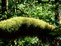 Champignons dans la mousse mushrooms in the moss (948878315).jpg