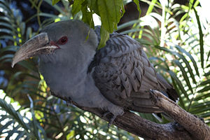 Channel-billed Cuckoo at Adelaide Zoo.jpg