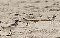 Charadrius melodus -Cape May, New Jersey, USA -parent and chicks-8 (1).jpg