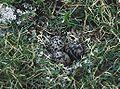 Charadrius morinellus clutch.jpg