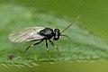 Chelonus.basalis.-.lindsey.jpg