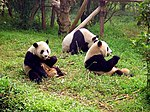 Three giant panda on grass.