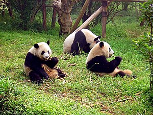 Giant Pandas eating bamboo in Chengdu, Sichuan