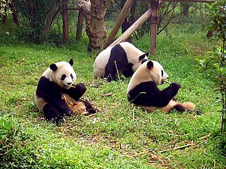 Mount Qingcheng - Image: Chengdu pandas d 10