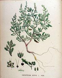Chenopodium botrys — Flora Batava — Volume v18.jpg