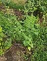 Chenopodium hybridum plant (10).jpg