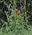 Chenopodium hybridum plant (2).jpg